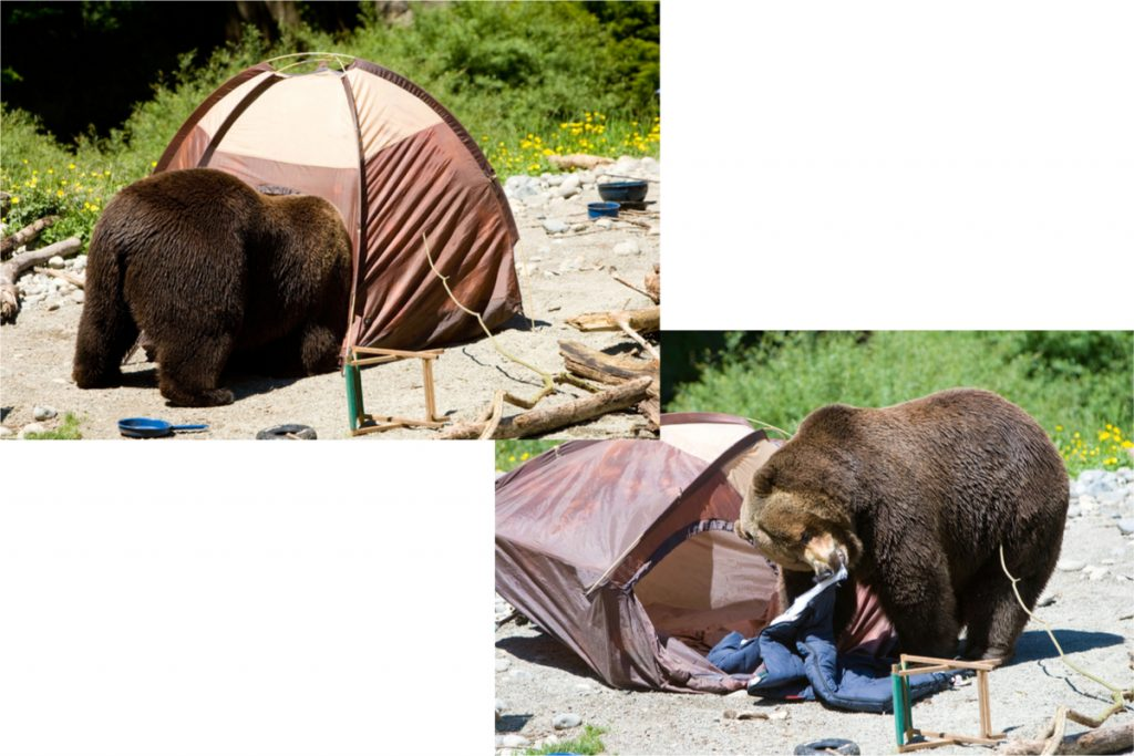 Bears in campsite and wrecking tent