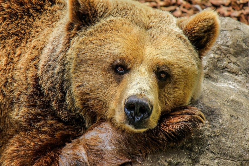 Cute brown bear resting its head on a rock