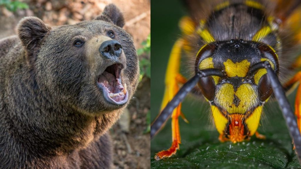 bear and wasp - Bear spray vs. Wasp spray: Is there a difference?