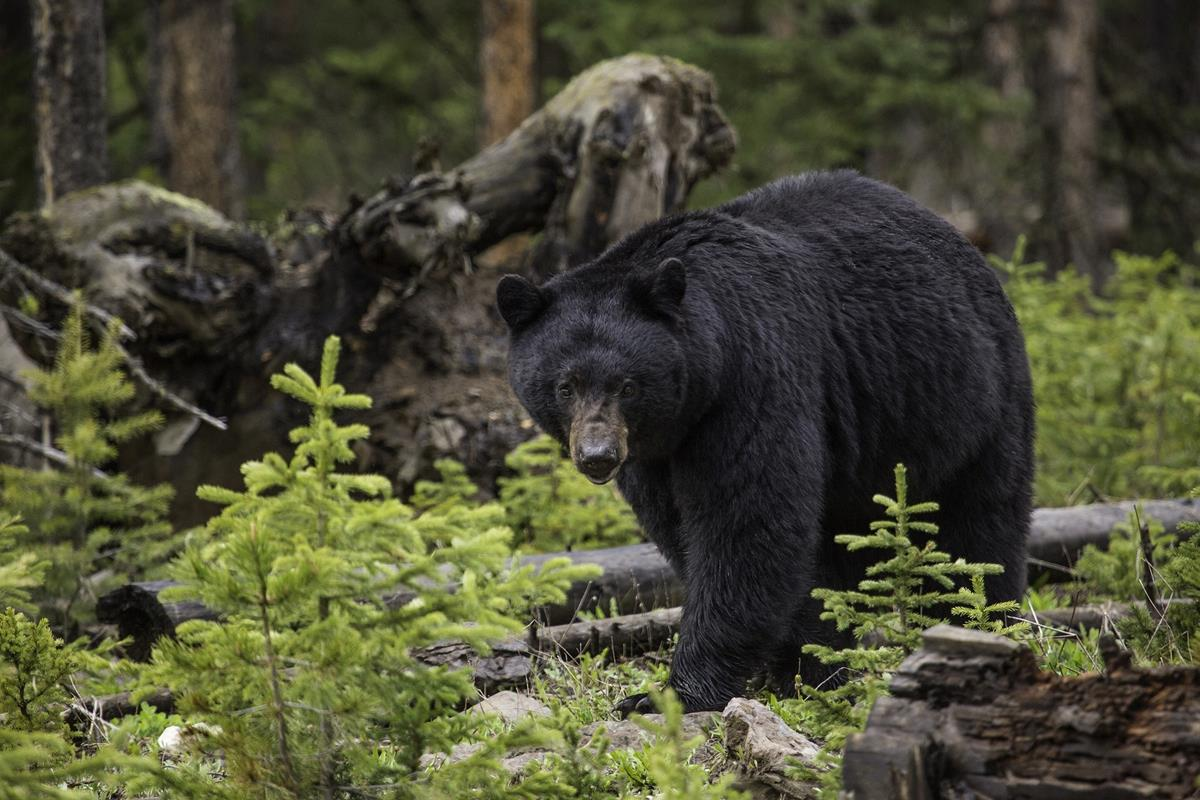 Black bear in the woods. When should you use bear spray?