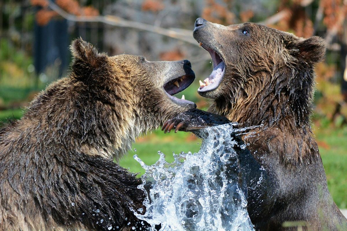 Grizzly bears at play. Can a bear get into a tent. You bet your life they can