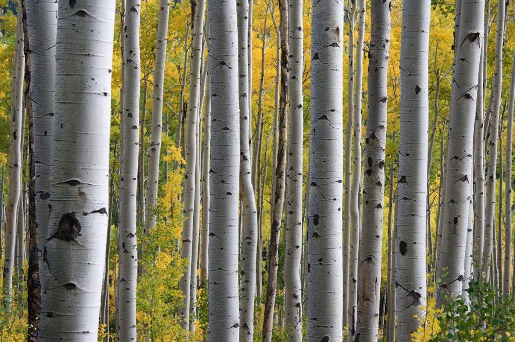 Birch trees are easy to recognize with their coloring, bark and long, straight trunks.  They make for a good campfire fuel