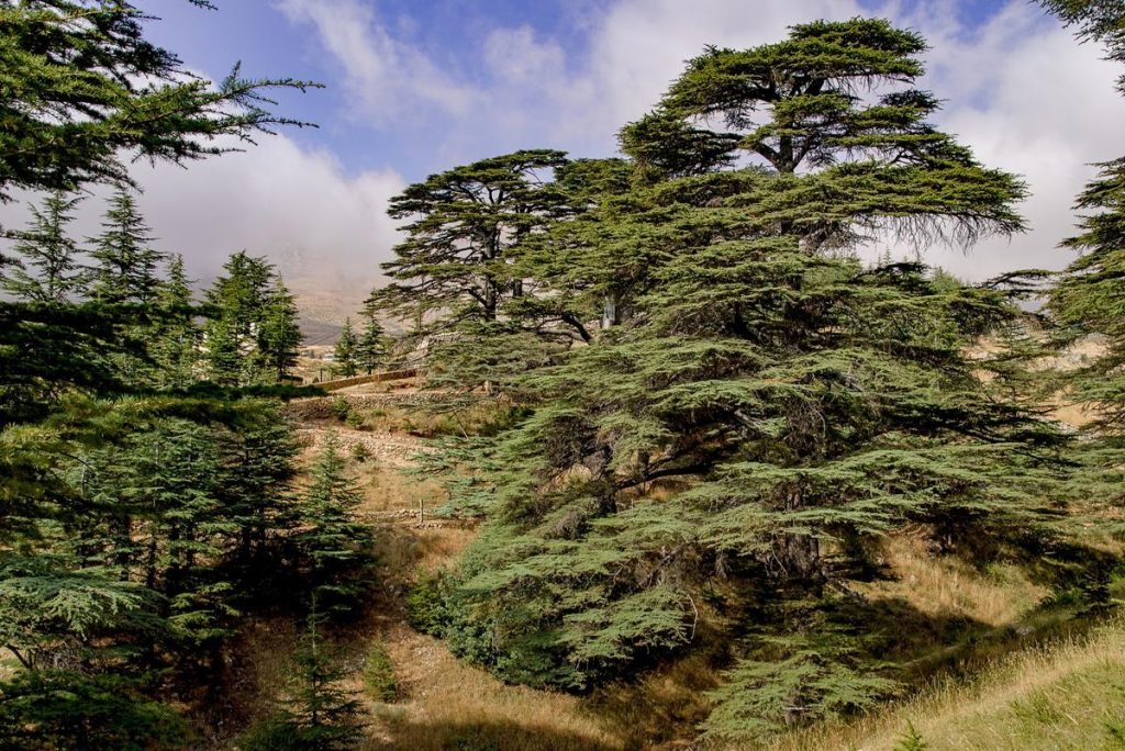 Old Cedar Trees - Cedar is not good for campfires as it tends to spark and spit