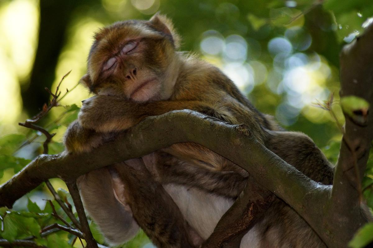 Very Sleepy Monkey